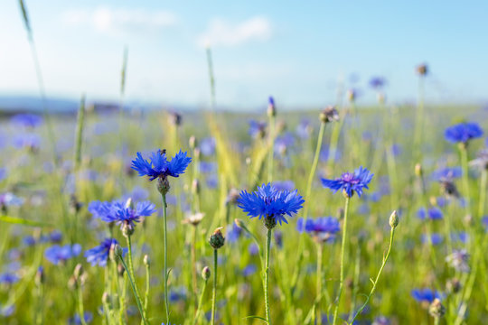 Beautiful blue Cornflower Centaurea cyanus. Beautiful flowers with blue bloom in summer meadow, Summer agriculture concept and landscape with blue sky.