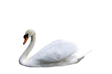 Foto op Canvas Zwaan Beautiful swan isolated on white background