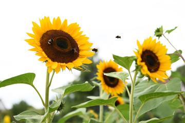 Sonnenblumen, Natur, Bienen