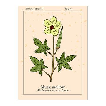 Musk mallow abelmoschus moschatus , medicinal plant