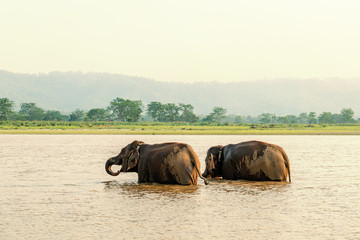 Two elephants bathing in the Gandak river at sunset in Chitwan national park, Nepal