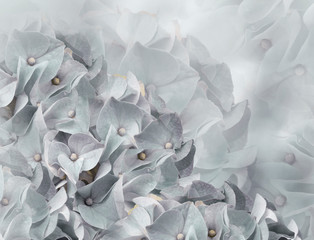 Spoed Fotobehang Hydrangea hydrangea flowers. light gray background. floral collage. flower composition. Close-up. Nature.