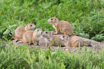 Young black-tailed prairie dogs are  around hole at the grasslands of Roberts Prairie Dog Town
