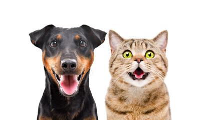 Portrait of funny dog breed Jagdterrier and cheerful cat Scottish Straight isolated on white background