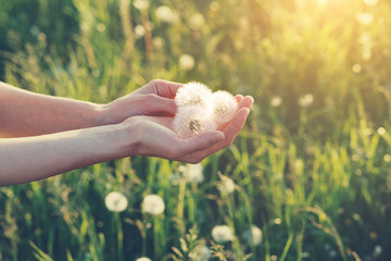 young female hands holding beautiful dandelion flowers, copy space Wall mural