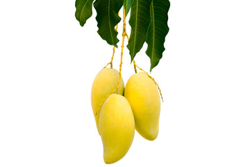 "The bush mango tree - Barracuda or ""Nam Dok May"" .  and its ripe yellow fruits isolated on white background."