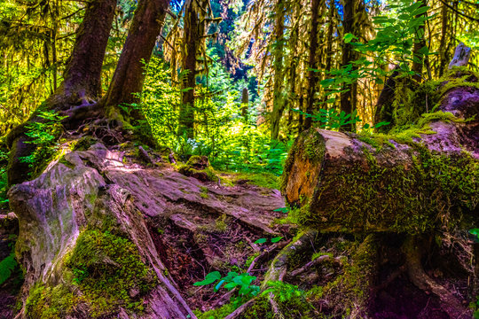 Beautiful Morning Hike Through the Hoh Rainforest in Olympic National Park, Washington
