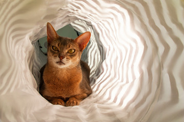 Abyssinian cat. Close up portrait of blue abyssinian female cat, sitting in white tunnel. Pretty cat on white background. Cute kitty, looking forward. Yellow eyes, big ears curious abyssinian cat.