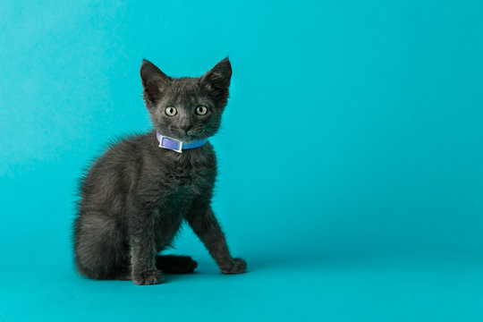 Grey Gray Cat Kitten with Green Eyes on a Blue Background