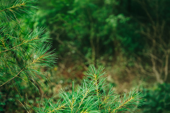 Outdoors Woodsy Forest Pine Tree Needles with Copy space for Advertising and blurred background with white space