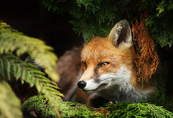 Close up of a Red fox lying under a tree