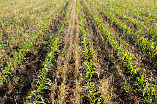 Rows of young corn growing between rows of killed cereal rye.