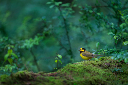 A bright yellow and black male Hooded Warbler sings out its song in the lush green forest while perched on a mossy log.