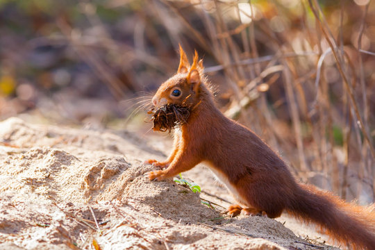 Red squirrel gathering nest material