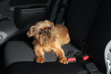 Adorable little dog in car. Exciting travel