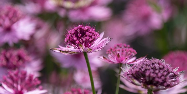 A close up photo of an Astrantia in bloom