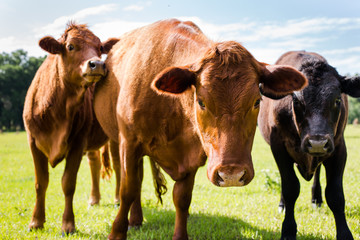 Close up of a Cow and Calves in a Green Pature with Blue Sky looking at Camera Wall mural