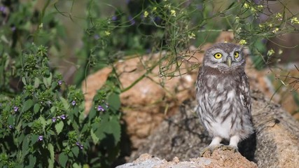 Fototapete - Young little owl (Athene noctua) stands on a natural stones in the grass and squats