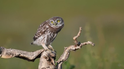 Fototapete - Young little owl (Athene noctua) stands on a dry branch on a beautiful summer background, looks at the camera and shakes