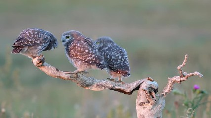 Fototapete - Three Young little Owls (Athene noctua) on a dry branchon a beautiful summer background. Play and then fly away in turn