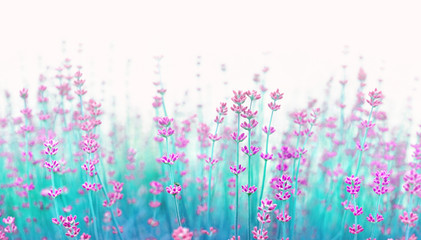 Border of lavender flowers on light background with soft focus close-up macro. Flowering lavender, tinted in turquoise and lilac tones. Soft gentle artistic image of nature. Copy space.