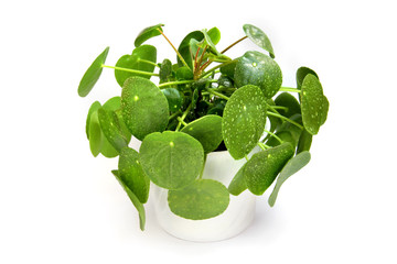 Pilea peperomioides - Ufopflanze - Pflanze im Übertopf
