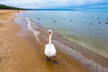 Swans on the beach at the Baltic Sea coast, Poland