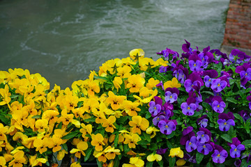Poster Pansies Yellow and purple johnny-jump-up pansy violet flowers