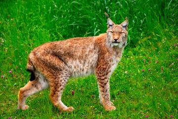 Tuinposter Lynx lynx lynx