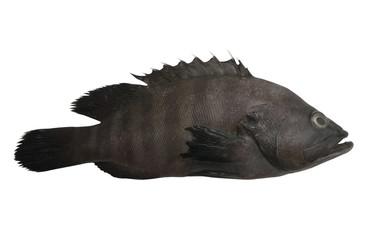 Black grouper fish isolated on white background