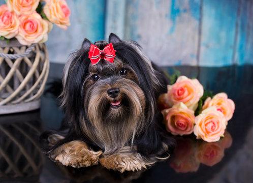 yorkshire terrier black.