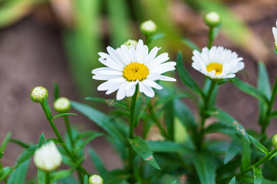 more of the Shasta daisy blooms open up