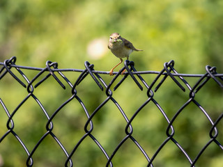 Yellowhammer sitting on fence