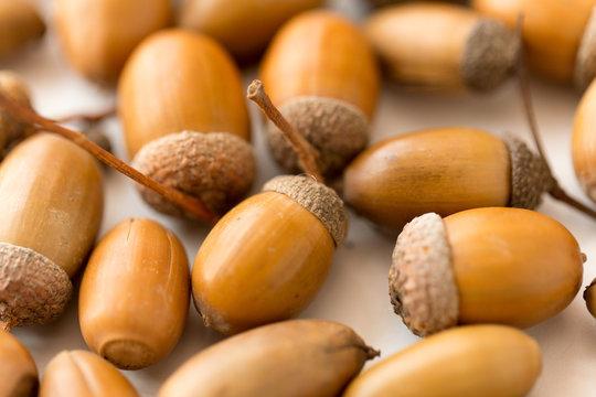 nature, season and botany concept - close up of acorns on white background