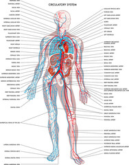 Labelled diagram showing the details of the human body circulatory system.
