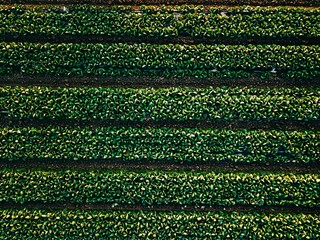 Aerial view of cabbage rows field in agricultural landscape