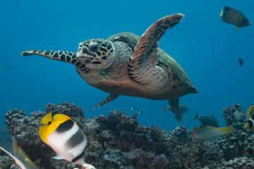 Hawksbill turtle (Eretmochelys imbricata) of Rangiroa atoll, French Polynesia.