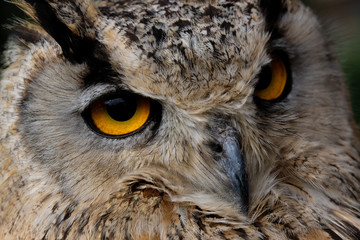 Papiers peints Chouette Eagle owl portrait - yellow eyes are looking in the cameralens