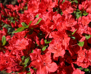 Blooming red azalea flowers in spring garden. Gardening concept. Floral background