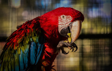 Ara parrot eating apple
