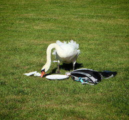 Urbanized swan look for food among the picnic stuff by excursionists