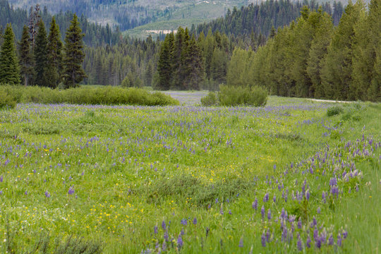 Meadow of purple wildflowers with pine forest in the background. Blue camas. Lolo Pass, Idaho.