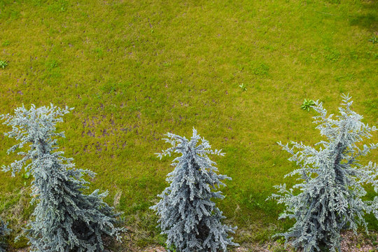 Aerial view of three white firs with green grass. Abies concolor, the white fir, is a coniferous tree in the pine family Pinaceae