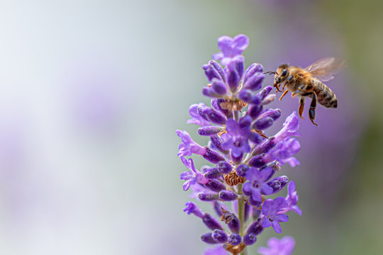 Bee on lavender flower collecting  pollen