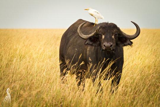 Water Buffalo with bird in the veldt of the Maasai Mara, Kenya.