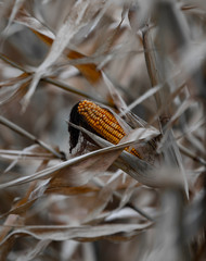 Close-up of dried corn in the field