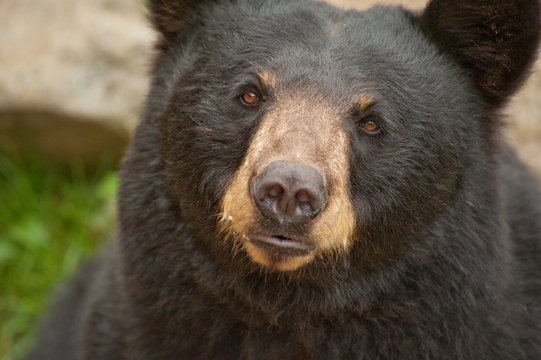 Close up of wild black bear face looking at camera