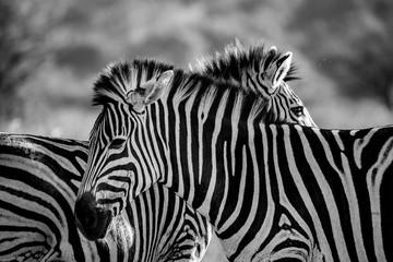 Keuken foto achterwand Zebra Zébre