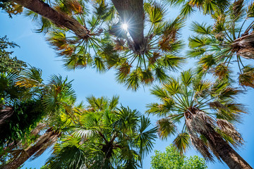 Bottom view of exotic fan-leaved palm trees against blue sky