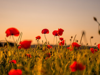 Image of huge poppy field during sunset